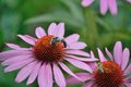 Flowers an a Busy Bee Royalty Free Stock Photo