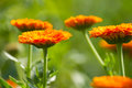 Flowers of calendula Stock Images