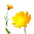 Flowers of Calendula isolated on white Royalty Free Stock Photo