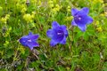 Flowers campanula alpina is in green grass Stock Image