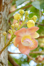 Flowers of cannonball tree couroupita guianensis aubl with beautiful and fragrance Stock Image