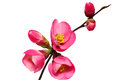 Flowers of Chaenomeles Japonica (Japanese Quince) blossoming. Royalty Free Stock Photo