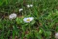 Flowers,chamomile