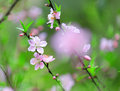 Flowers of cherry blossoms on spring day Royalty Free Stock Photos