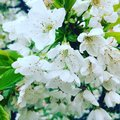Flowers from cherry tree in spring time Royalty Free Stock Photo