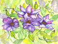 Flowers clematis watercolor painting purple vine with green variegated leaves Royalty Free Stock Photo