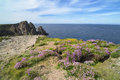 Flowers on cliffs in ireland pinks and yellow tory island Stock Photo