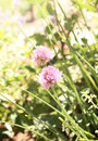 Flowers of clover pink color Stock Photos