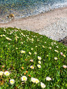 Flowers on coast yellow perennial of the sea cliff Stock Photos