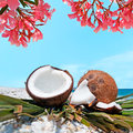Flowers and coconuts pink oleanders by the shore Royalty Free Stock Image