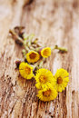 Flowers coltsfoot on board a wooden Stock Photo