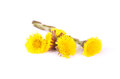 Flowers of coltsfoot colorful and crisp image Royalty Free Stock Image