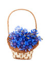 Flowers cornflower in the basket closeup isolated Stock Photos