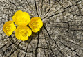Flowers in the cracks four tiny yellow between of a tree trunk Royalty Free Stock Photos
