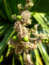 Flowers of cuban petticoate palm or copernicia macroglossa Royalty Free Stock Photography