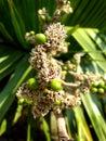 Flowers of cuban petticoate palm or copernicia macroglossa Royalty Free Stock Photography