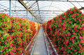 Flowers cultivated in greenhouses Stock Photos