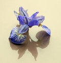 Flowers cut flowers buds irises blue shadow reflection Royalty Free Stock Photo