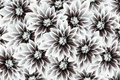 Flowers dahlias black-white. flowers  background. floral collage. flower composition Royalty Free Stock Photo