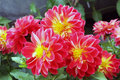 Flowers of dahlias in fiery red yellow colors Royalty Free Stock Photo