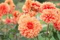 Flowers Dahlias