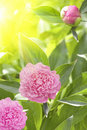 Flowers  dahlias  petals  pink  sunlight Royalty Free Stock Photo