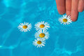 Flowers daisy floating on the surface Stock Photography
