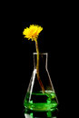 Flowers dandelion in laboratory flask with green liquid black background studio shot Royalty Free Stock Images