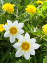 Flowers decorative white yellow petals Royalty Free Stock Photo