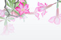 Flowers, Desert Rose; Impala Lily; Mock Azalea flowers on background