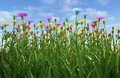 Flowers of different colors in a grass field close up view filed plenty multicolored viewed from side with close Stock Photo