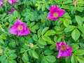 Flowers of a dog rose rosa canina Stock Photo