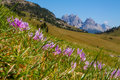 Flowers of Dolomiti mountain Royalty Free Stock Photo