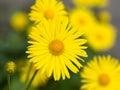 Flowers Doronicum Royalty Free Stock Photo