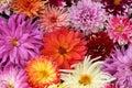 Flowers Drops  Dahlia.