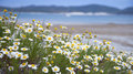 Flowers on a dune sand in sardinia porto pino Royalty Free Stock Photos