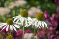 Flowers of echinacea fragrant angel in summer garden Royalty Free Stock Photos