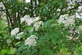 Flowers of an elder tree Royalty Free Stock Photo