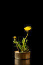 Flowers empty can with yellow dandelion on black background studio shot Royalty Free Stock Photos