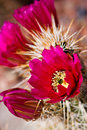Flowers of the Engelmann's Hedgehog Cactus Royalty Free Stock Images