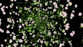 Flowers Explosion Animation Background. Alpha Channel included.