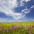 Flowers field with sky Stock Photography