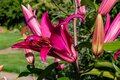 Flowers and flora from Wanaka New Zealand; Bloom of lily, Pink flower. Royalty Free Stock Photo