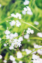 Flowers forget me little beautiful delicate Royalty Free Stock Photography