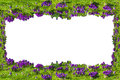 Flowers frame; with crocuses on white background. Royalty Free Stock Photo