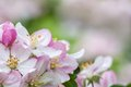 Flowers of fruit tree spring background apple blossoms Royalty Free Stock Photography