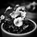 Flowers in the garden. Artistic look in black and white. Royalty Free Stock Photo