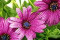Flowers of gazania with drops splendens genus asteraceae isolated Stock Photos