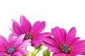 Flowers of gazania splendens genus asteraceae Royalty Free Stock Photos