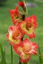Flowers gladiolus Royalty Free Stock Photo